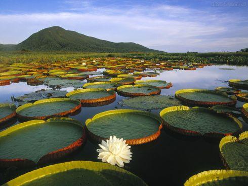 Vitoria-regia-na-Amazonia